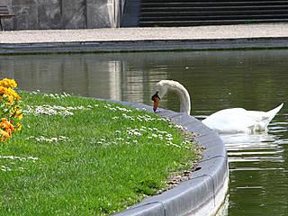 Schwan im Parc floral de Paris. © waitscm