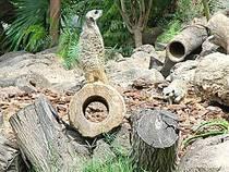 Erdmännchen im Jungle Park. © steve p2008
