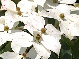 Japanischer Blütenhartriegel in den Coastal Maine Botanical Gardens. © InAweofGod'sCreation